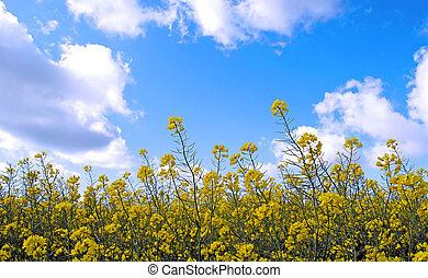 Rape field - A yellow rape field with blue sky and white ...