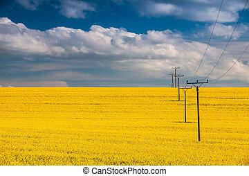 Rape field and blue sky - Flowers of oil in rapeseed field...