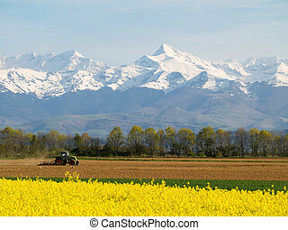 Rape field and mountains