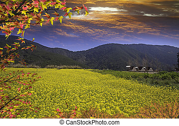 Rape field and sunset