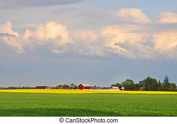 Green wheat field and yellow rapefield with red farmhouses in the background.
