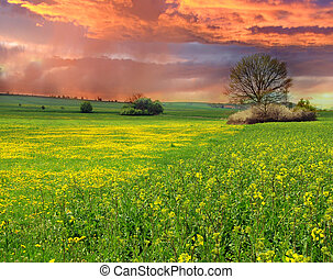 Rape field at sunset