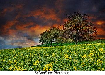 Rape field at sunset