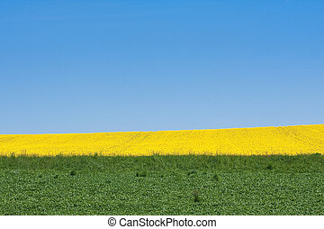 rape field in the springtime