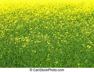 rape field in the springtime
