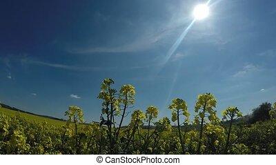 rape field on a sunny day