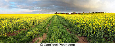 Rape field panorama with path and clouds