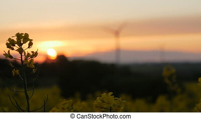 Rape field - sunset with wind turbine. Rack focus.