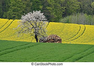 Rape field with cherry tree in Lower Saxony, Germany