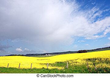 Rape fields in Springtime, Scotland