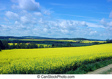 Rape fields scenery