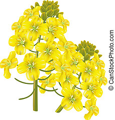 Rape flower (Brassica napus). Vector illustration. - Rape...