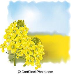 Rape flower on a background field. Vector illustration.