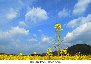 rape flowers and blue sky