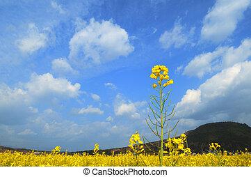 rape flowers and blue sky