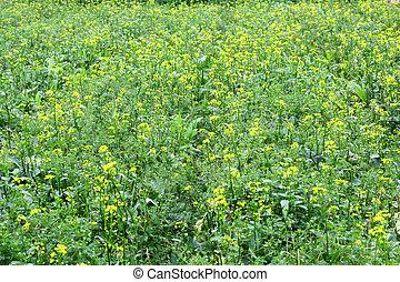 Rape flowers background