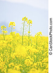 Rape flowers field, canola on blue sky.