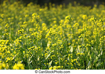 Rape flowers field in spring
