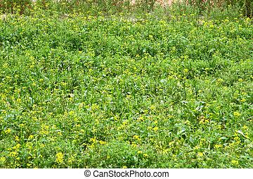 Rape flowers field in spring