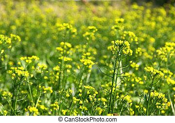 Rape flowers field under sunlight