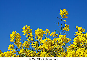 Rape flowers in the field