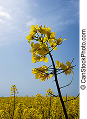 rape flowers - rape field under biue sky with clouds
