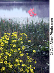 Rape flowers - yellow rape flowers with foggy lake and ...