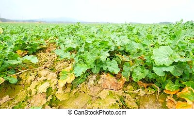 Rape plant field. Spring colza field, small young plants moving in the wind. Moved oilseed rape leaves by irregular breeze, beginning of spring in agriculture. Camera moving close up to ground.