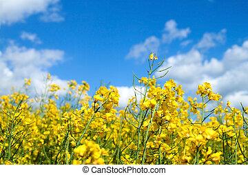 Rape seed field in summer