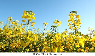 Rape seed flowering