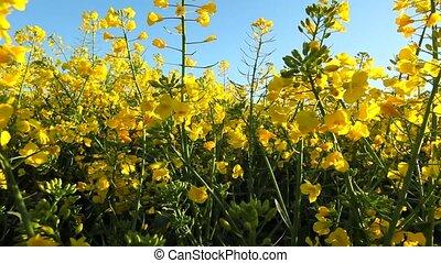 Rape seed flowering tilt up - Rape seed flowering on a sunny...