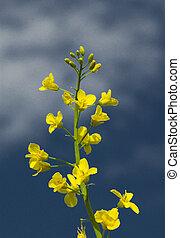 rape - landscape white yellow rape and blue sky
