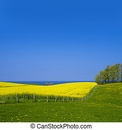 beautiful rape field and the baltic sea in the background