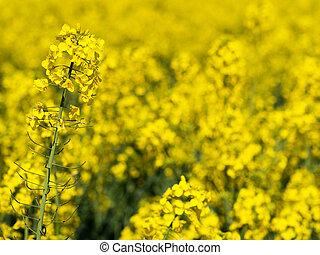 Yellow rapefield closeup at spring