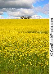 Rapeseed 2 - Rapeseed field and sky