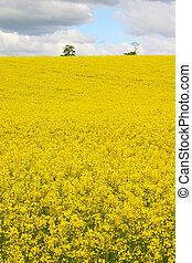 Rapeseed field and sky