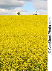 Rapeseed 3 - Rapeseed field and sky