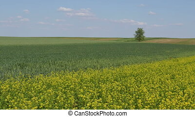 Rapeseed and wheat fields in spring