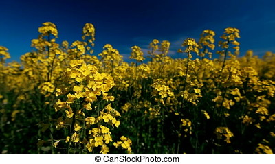 Rapeseed Blossom in Foreground - Closeup shot of rapeseed...