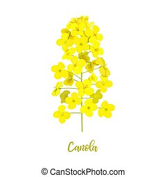 Rapeseed blossom isolated on white. Flowering Canola or ...