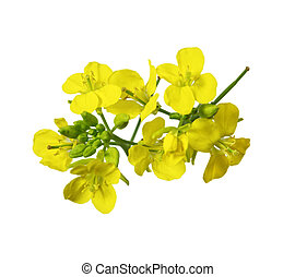 Rapeseed Blossom - Rapeseed blossoms , Brassica napus flower...