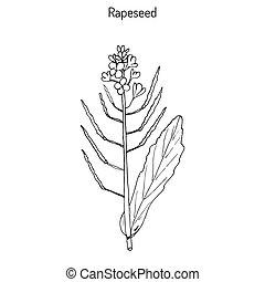 Rapeseed Brassica napus ,or rape, oilseed rape, rapa, rappi,...