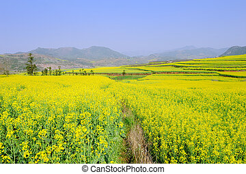 rapeseed, campo, en, el, primavera
