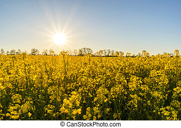 rapeseed, campo