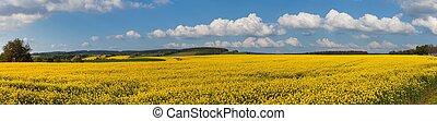 Rapeseed canola or colza field panorama landscape