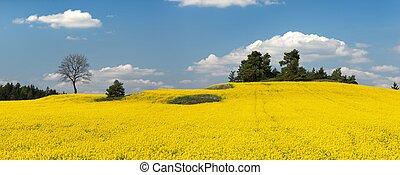 rapeseed, champ vert, énergie, plante