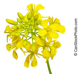 Rapeseed - Close up of rapeseed flowers isolated on white