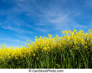Rapeseed field at spring under blue sky and clouds