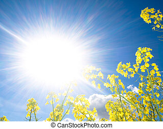 Rapeseed field at spring with sparkling sun