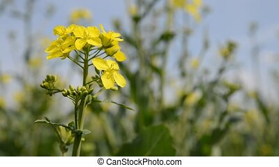 Rapeseed field, Blooming canola flowers close up.